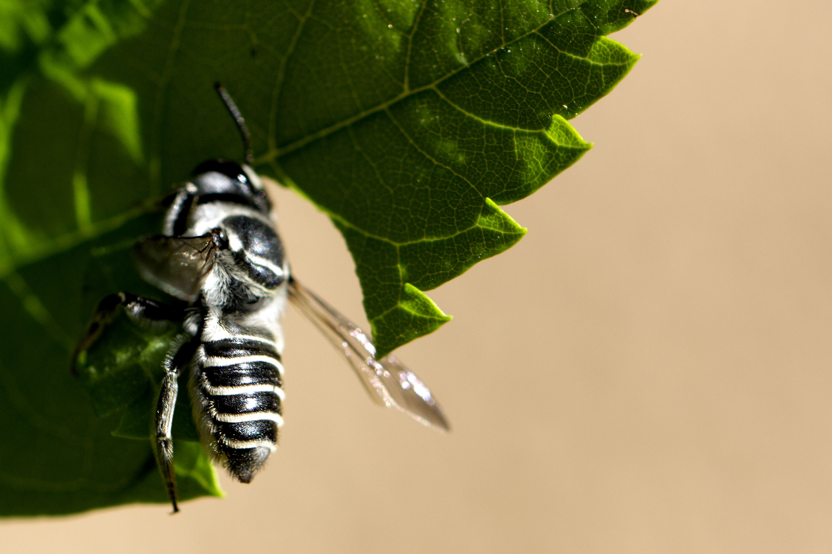 leaf cutter bees Find out how to harmlessly deter leafcutter bees from cutting notches out of your plant leaves, with expert guidance from bbc gardeners' world magazine.